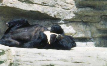 Bear Sleeping in a Zoo