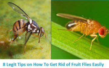 Getting rid of fruit flies