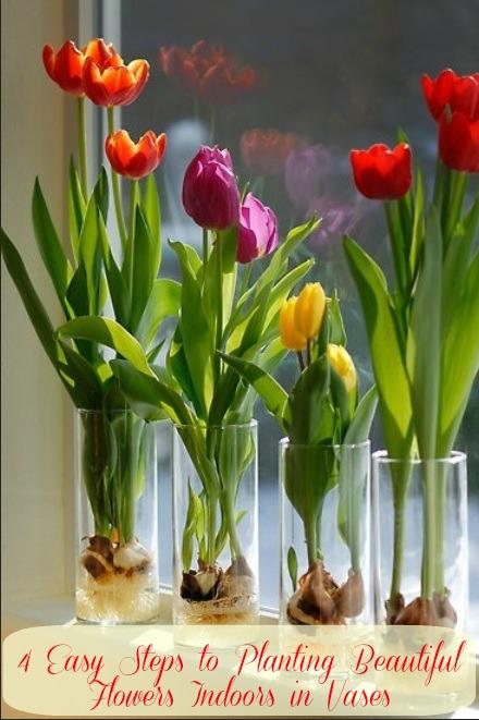 Indoor Tulips Growing In Vases